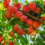 texas fruit tree peach