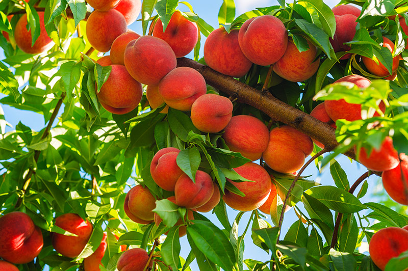 Best Fruit Trees To Grow In Texas