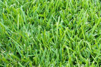 st augustine grass type texas